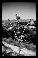 Flora on Troodos Mountains B&W